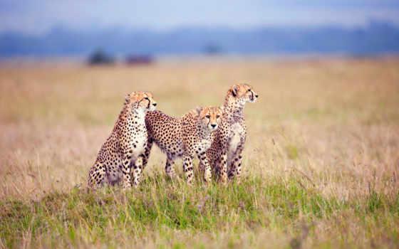 гепард, гепарды, саванна, природа, zhivotnye, трава, категория, lion,