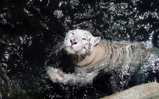 тигр, white, тигры, удовольствием, играет, купается, бассейне, красивые, фотографий, под,