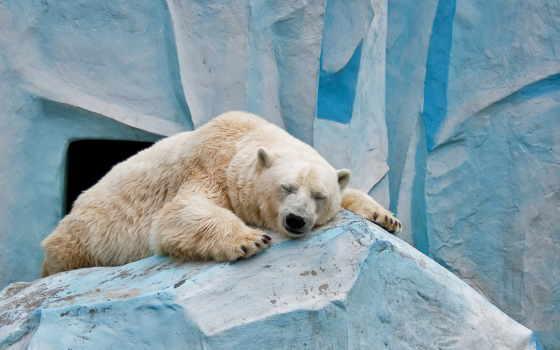 медведь, white, медведи, polar, яndex, sleeping, zhivotnye, белых, сладко, камне, льдине,