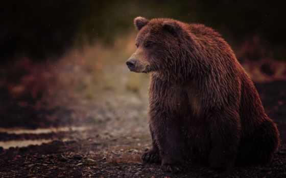 медведь, мокрый, бурый