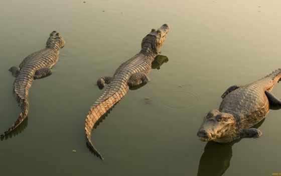 крокодилы, животные Фон № 39550 разрешение 1920x1080
