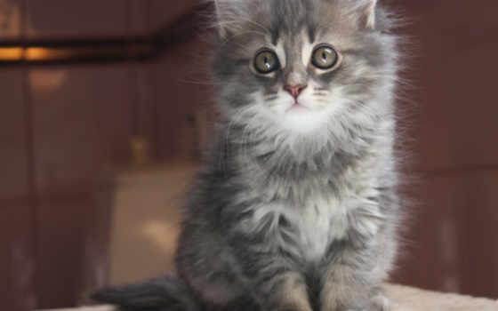 котенок, серый, кот