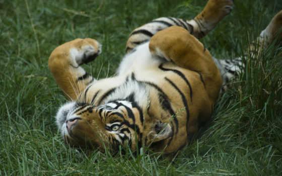 тигры, кошки, тигр