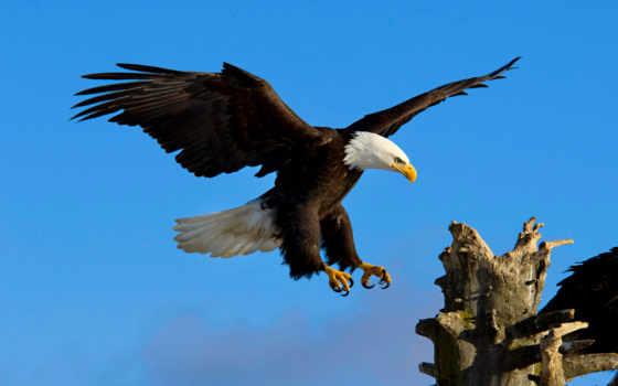 орлан, орлы, eagles, iguana, красивые, посадка, птица,