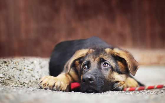 , собака, лежит, грусть, овчарка,