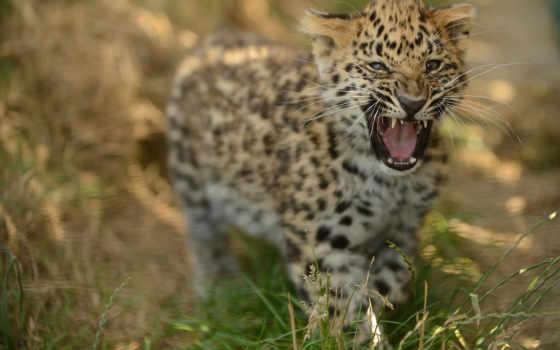 леопард, фото