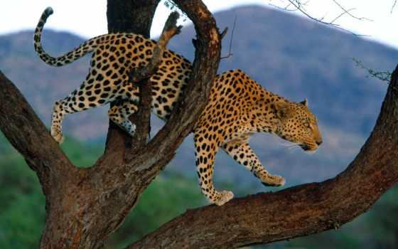 леопард, леопарды, zhivotnye