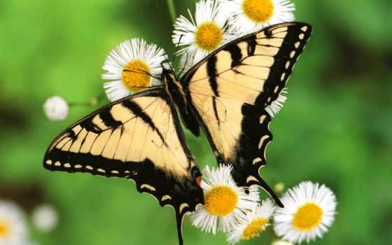 butterflies, free, бабочка