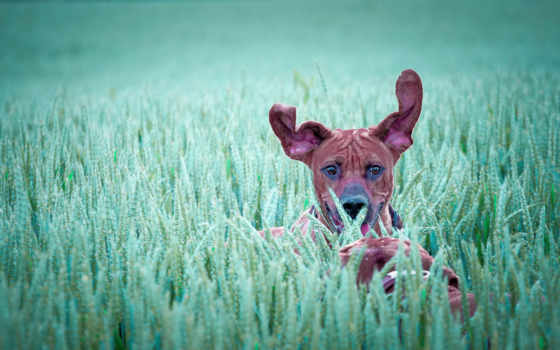 dachshund, ericsson, sony, собака, зооклуб, зооклубе, таксы, картинка, собаки, фото, ушами,
