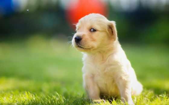 щенок, retriever, золотистый