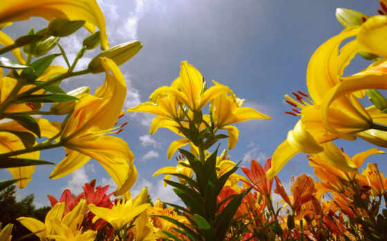 desktop, цветы, resolution, widescreen, background, download, flowers, солнце, желтые, yellow, lily, lilies,
