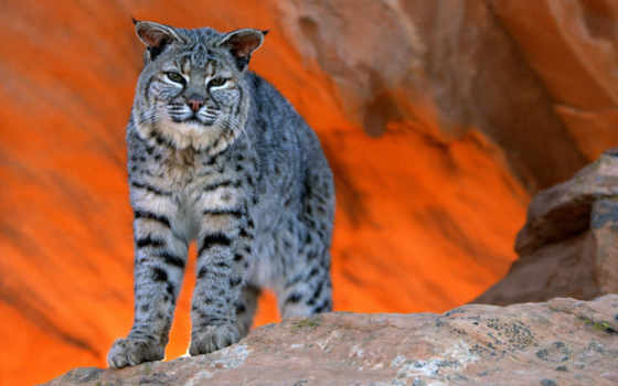 bobcat, animal, кошки