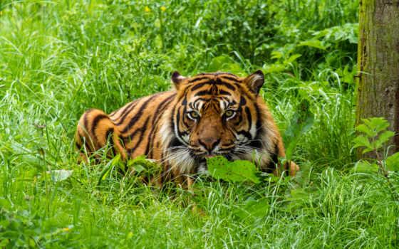 следы, интересные, тиграх, тигры, самые, модульная, картинка, video, вас, state,