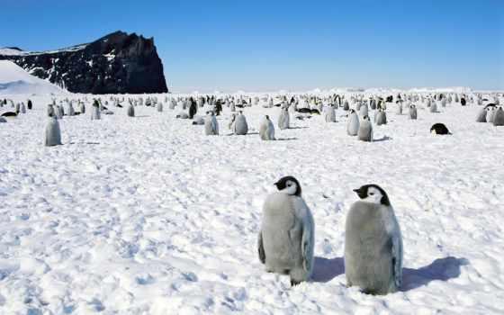 пингвины, пингвинов, снегу, птицы, картинка, снег,