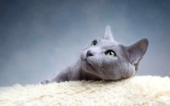 cat, breed, russian, blue,