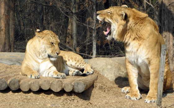 англ, hybrid, льва