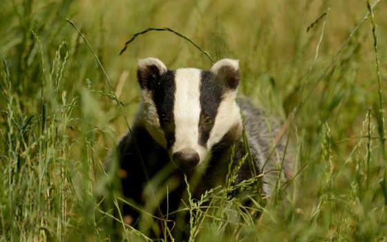 animal, badger, desktop