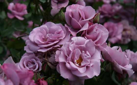 bush, розы, цветы