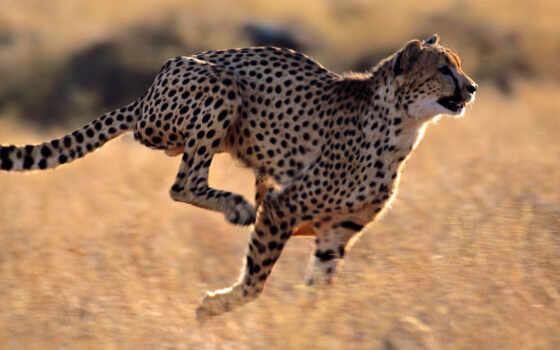 гепард, гепарда, хищник, взгляд, леопард, изображение,