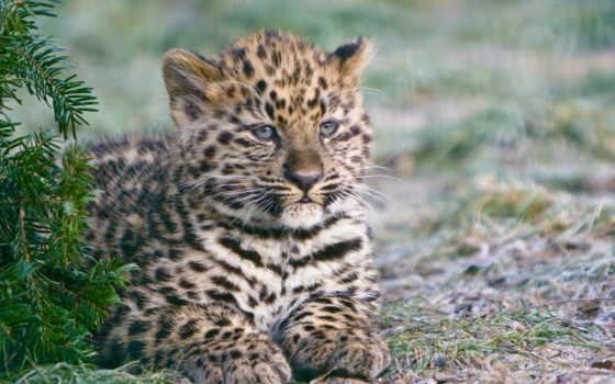 гепард, детёныш, морда, хищник, ложь, взгляд, browse,