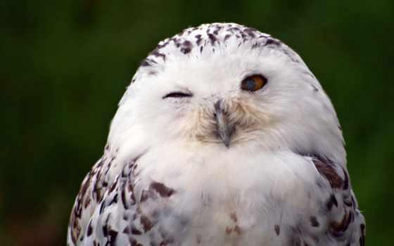 сова, белая, полярная, птица, крылья,