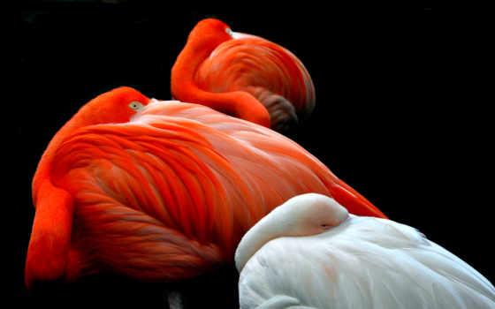 taustapildid, tasuta, ozadja, фламинго,