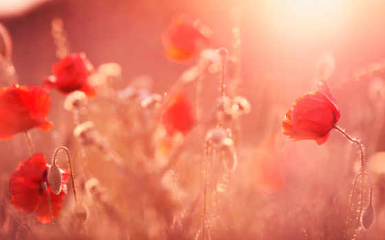 cvety, свет, poppy, red, солнечный, поле, color, растение, sun, summer