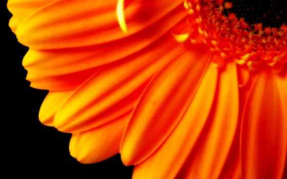 оранжевый, цветы, лепестки