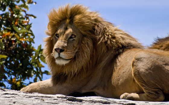 львы, животных, львів