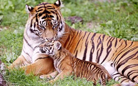 tigre, tigers, baby