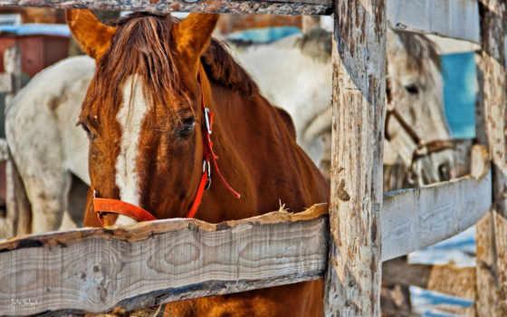 лошадь, рыжая, лошади, horses,