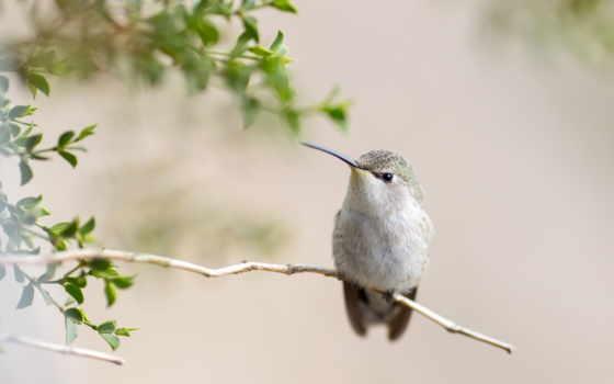 колибри, природа, птица, серая, zhivotnye, клюв, эскиз, fauna,