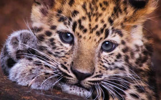 усы, леопард, card, animal,