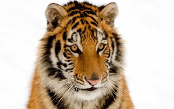 тигр, удивленный, детёныш, удивлен, тигрята, рыжие,