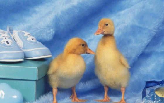 ducks, baby, are, margutį, birds, kad, anatidae,