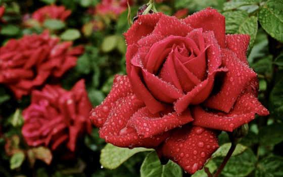 розы, капли