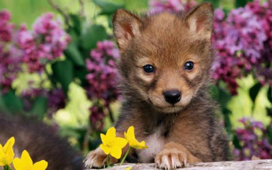 волчонок, маленький, zhivotnye
