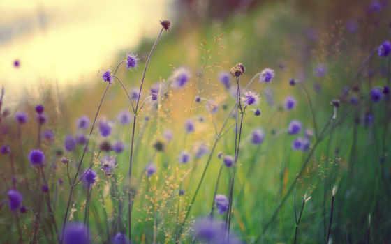 полевые, цветы, сиреневые