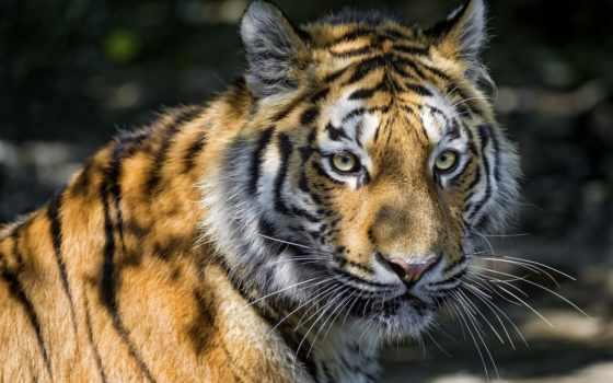 взгляд, тигр, кот