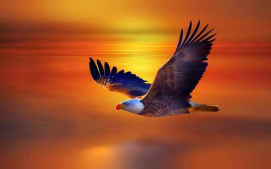 орлан, flying, desktop, high, widescreen, лысый,