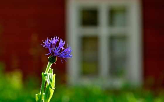 василек, цветка, детей, чорний, красиві, cvety, tapeet, квіти, лепестки,