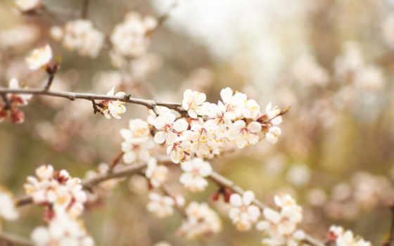 абрикос, лепестки, природа, flowers, цветы, desktop, blossoms,