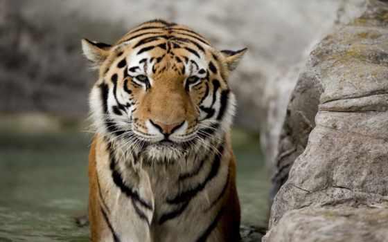 тигр, взгляд, морда