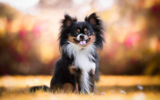 собака, companion, фон, щенок, animal, cute, pomeranian, love, трава, dachshund, bulldog