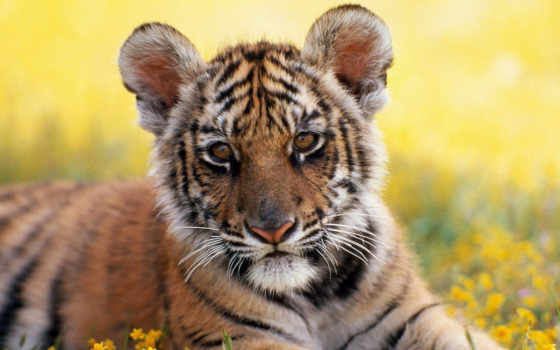 tiger, тигренок Фон № 10545 разрешение 1920x1200