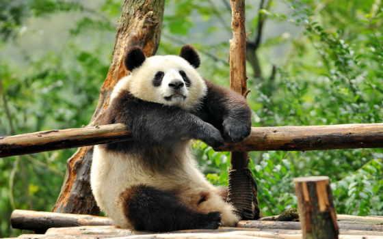медведи, животные, панды