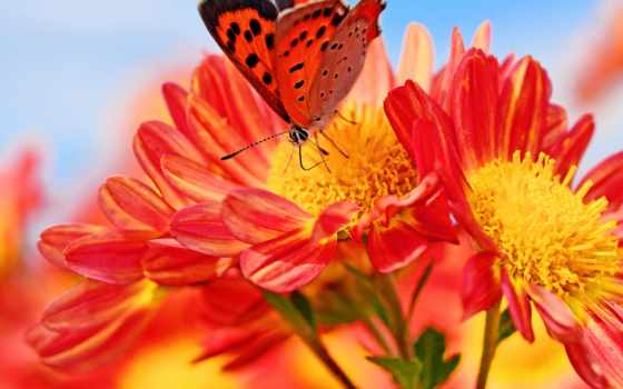 ,цветок,бабочка,красочная, насекомые, красный цветок,