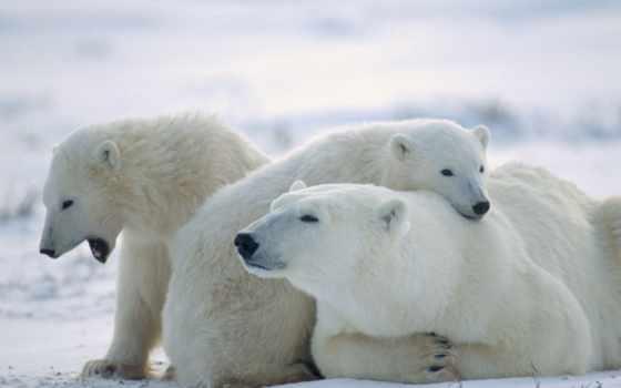 белые, медведи, медведей