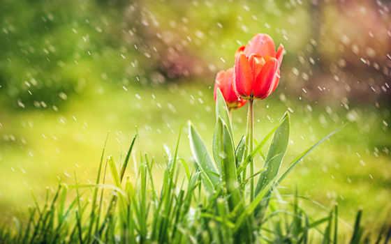 тюльпаны, под, дождем