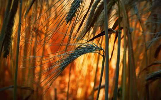 телефон, пшеница, картинку